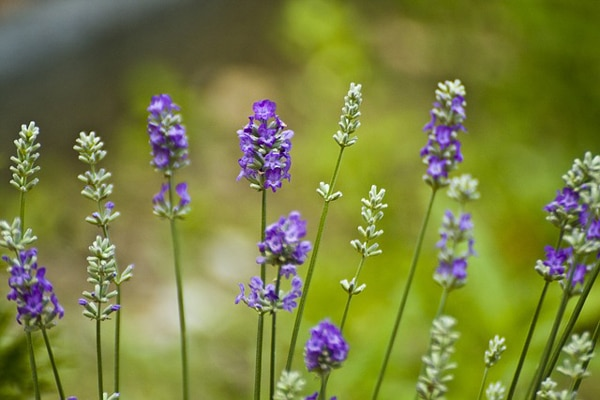 herbal remedy for aloepecia areata